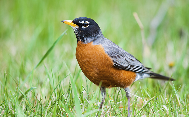 american robin in grass