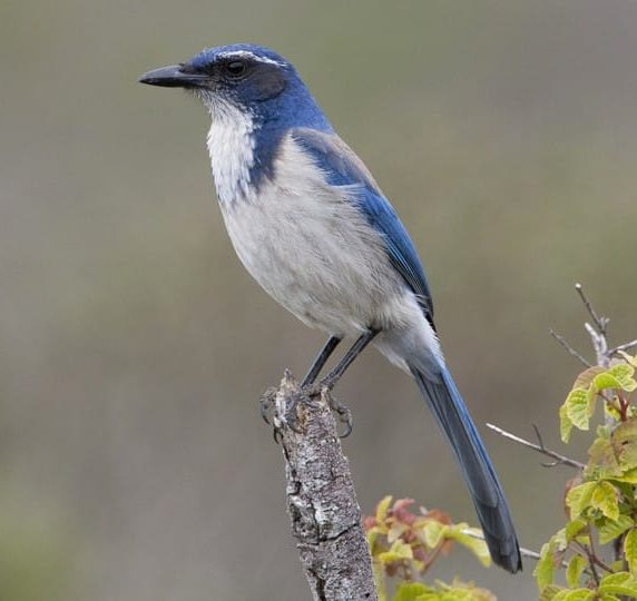 california scrub jay, has blue back and white chest