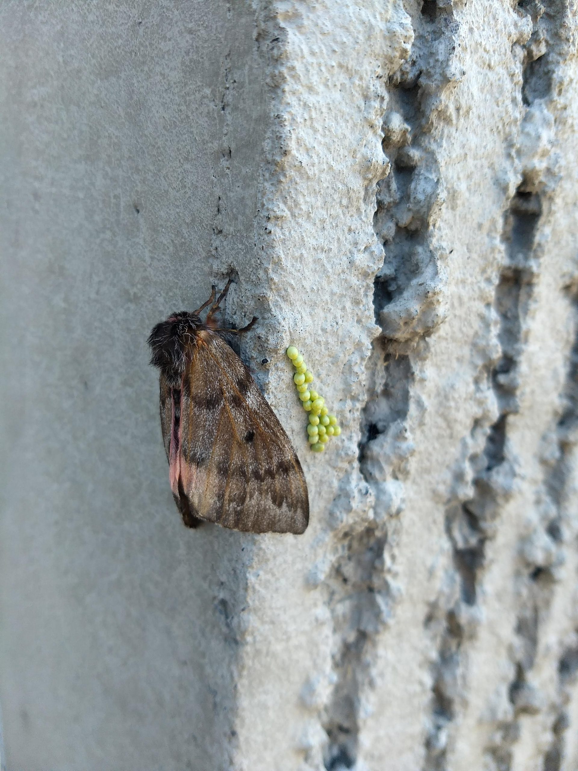 pandora moths