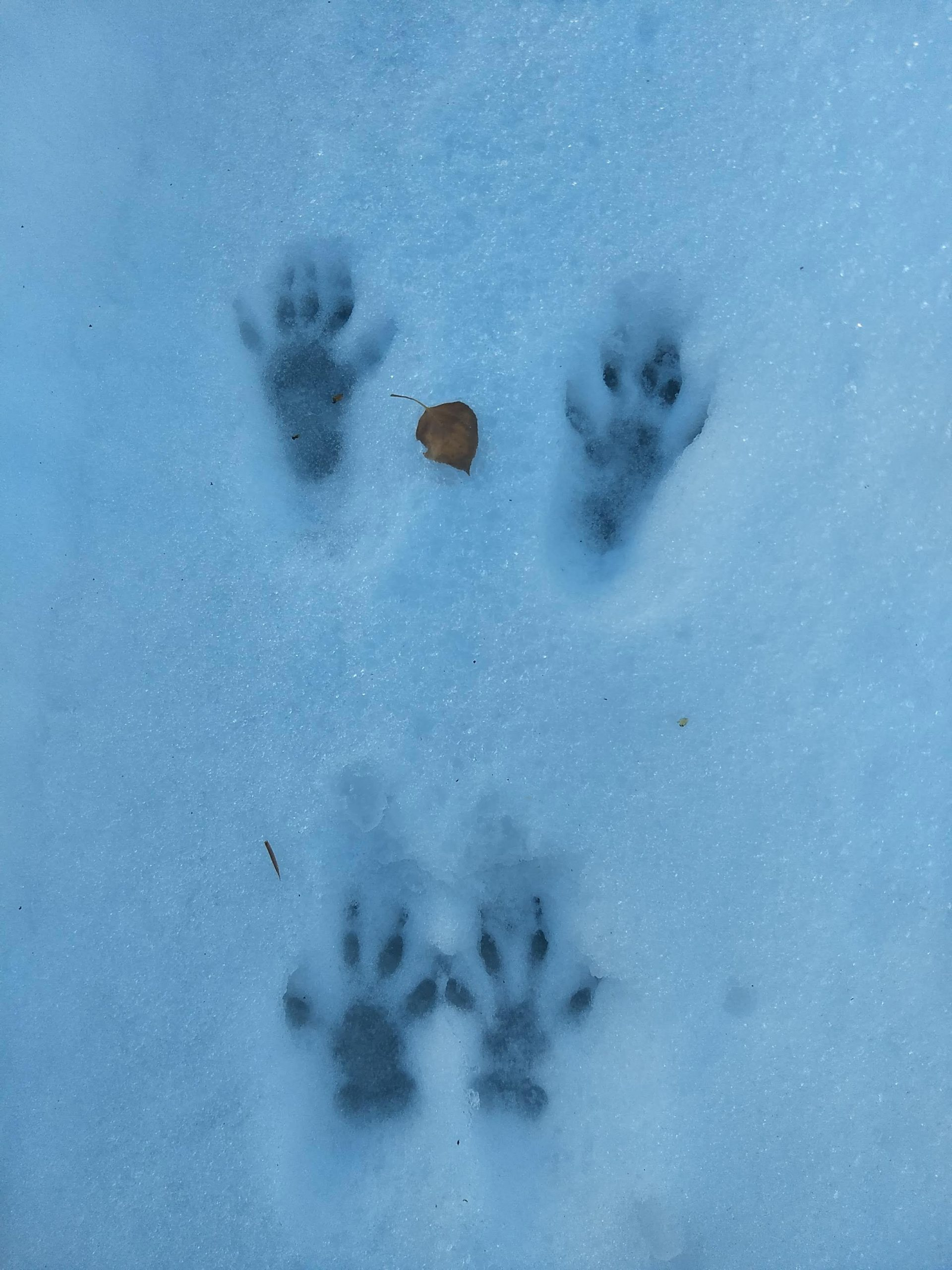 raccoon like prints in the snow