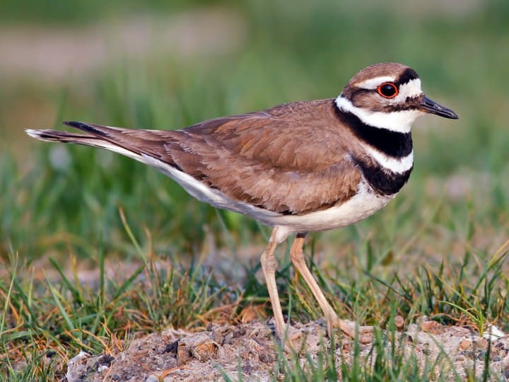 killdeer bird, brownish bird with distinct black and white striping on chest and head
