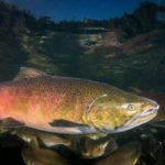 chinook salmon in water