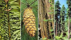 collage of four photos of douglas fir parts including cone, bark, needles and the tree