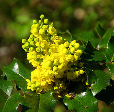 oregon grape flowering